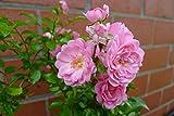Bodendecker winterhart mehrjährig Bodendecker Rosen Rosa The Fairy reich blühende robuste Rose 20/30 cm Sommerblüher (10) Test