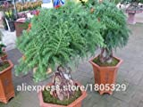 50 Araucaria seeds outdoor plants Refres...