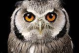GB eye Ltd GB Eye, Eule, Gesicht, Maxi Poster, Verschiedene