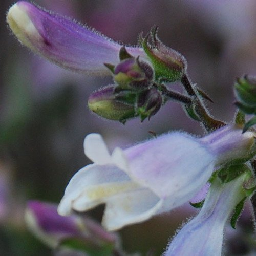 penstemon-hirsutus-minimus-seeds