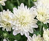 #3: Flower Seeds : Saamandi- Chrysanthemum White Flower Seeds For Summer Garden Plant Seeds By Splendour Seeds