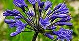 Agapanthus campanulatus - Agapanthe - 10 graines