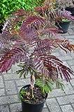 rotlaubiger Schlafbaum - Seidenbaum Albizia julibrissin Summer Chocolate -R- 40-60 cm hoch im 5 Liter Pflanzcontainer !RARITÄT!