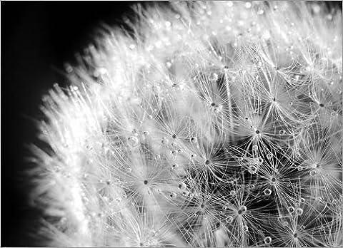 Forex-Platte 100 x 70 cm: Pusteblume Tautropfen schwarzweiß von Julia