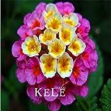 Pinkdose ¡El precio más bajo 100 pedazos/bolso multi color opcional Lantana camara jardín de flores para la planta de Bonsai habitaciones en el interior: 5