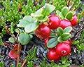 Wilde Preiselbeere 10 Samen -Vaccinium vitis-idaea- Rar Winterhart von Samenchilishop - Du und dein Garten