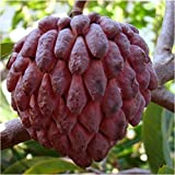 #10: Natural garden plants Custard Apple Seeds Sweet Delicious Fruit (Purple) - 5 Pieces Packet