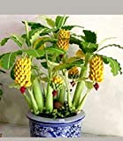 PLAT FIRM GERMINATIONSAMEN: 300 Samen von 100Dwarf Banane und 200rainbow Bananatree Samen Seltene exotische Bonsai