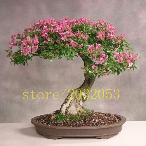 100 Crape Myrtle - Lagerstroemia indica graines d'arbres de belle fleur pour la maison jardin plantation