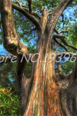 Ventes! 200 pcs/sac Rare arc en ciel, arbre tropical Showy, vivace Bonsai Potted Maison et Jardin (ing mixte GRAINES SEULEMENT)