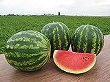 Samen Wassermelone Talisman F1 Organically Hybrid Melon NON-GMO Grown