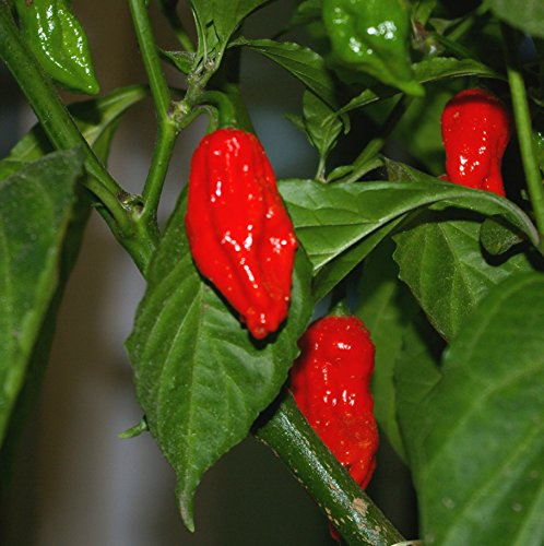 Asklepios-seeds® - 100 graines Bhut (Naga) Jolokia - Ghost Chili - piment 'Bhut Jolokia'