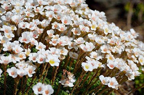 Moos Weiss 100 Samen- Steinbrech - Saxifraga x arendsii White