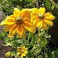 lichtnelke - Rauher Sonnenhut (Rudbeckia hirta 'Prairie Sun') von Lichtnelke Pflanzenversand bei Du und dein Garten
