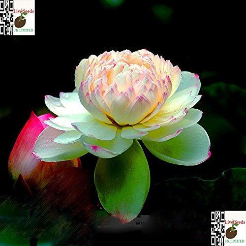 Bi-Farbe / Rosa und Gelb /Bonsai Lotus / Wasser Lily Blume Bowl-Pond5 Frische Samen / Philippines Gold (Wasser-lilie)