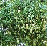 M-Tech Gardens Rose Gardens Chandrakaran Rare Dwarf Mango Live Plant