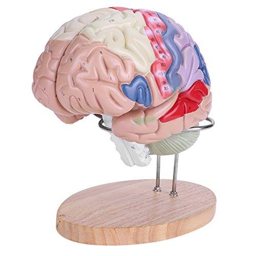 Akozon 3D Modelo de Cerebro Humano, 1: 2 Medical anatómico Cerebro humano regional Modelo Cerebro Cortex Nerve 4 Partes