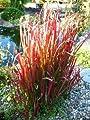 Japanisches Blutgras Imperata cylindrica Red Baron Solitär im 5 Liter Pflanzcontainer von Plantenwelt Wiesmoor auf Du und dein Garten