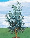 Willemse France 7958 Eucalyptus gunnii ou gommier cidre Multicolore, 125 x 1 x 1 cm