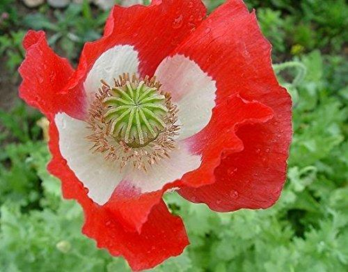 - Blume - 1000 Samen ()