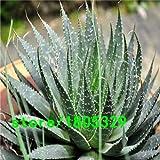 Pinkdose® 200 Aloe Mix Graines - Excellentes plantes d'intérieur succulentes SEED ALOE VERA: 3