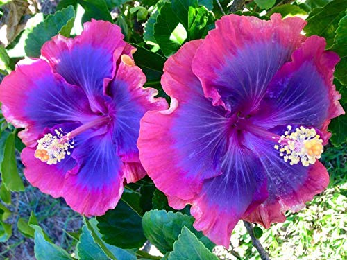 PLAT FIRM KEIM SEEDS: 100 Stück Pinkblue Hibiscus Blumensamen Riesen-Bonsai Hibiskus Balkon Topfpflanze - Hibiscus Topfpflanze
