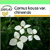 SAFLAX - Garden to Go - Corniolo giapponese - 30 semi - Cornus kousa var. chinensis