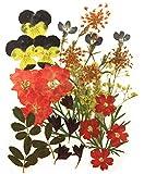 Gepresste Blumen gemischt, Stiefmütterchen, Lerchensporn, Spitzenblume, Lobelie, Verbena, Kornblume, gelber Babyatem, Laub