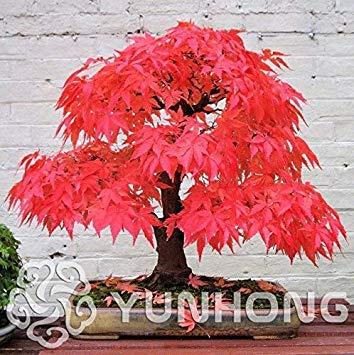Topfpflanze Bonsai japanischen Red Maple Bonsai-Baum-Pflanze, 20 PC/Satz, sehr schön Indoor Baum: 3