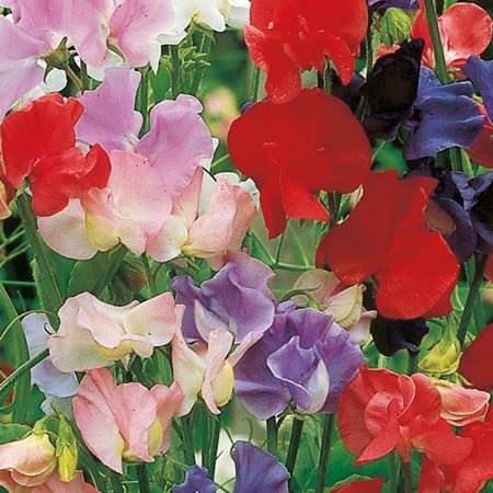 suttons-seeds-134254-old-fashioned-scented-mix-sweet-pea-seed