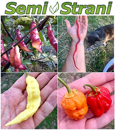 40 SAMEN der 4 SCHöN CHILI in der WELT, DAS BEAUTIFUL KOLLEKTION: PINK TIGER, THUNDER MOUNTAINS LONGHORN, BHUT JOLOKIA GHOST CHILI WHITE, 7 POD BUBBLEGUM