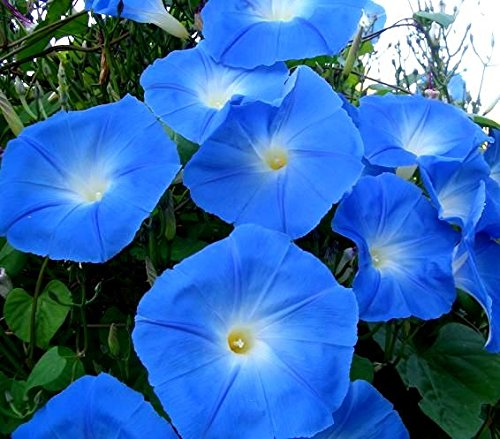 Lila Morning Glory Samen Ipomoea purpurea, - Morning Glory Ipomoea Purpurea