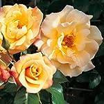 Kletterrose Kordes Moonlight - 1 rose