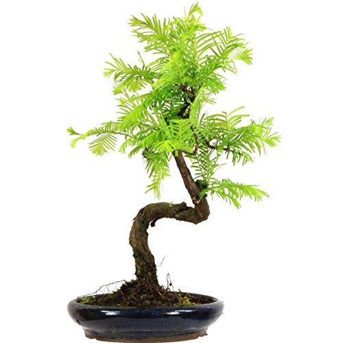 metasequoia-bonsai-10-ans-36cm