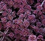 50 Sedum Lila Teppich Samen tief Rose Rosa blühende saftige CombSH