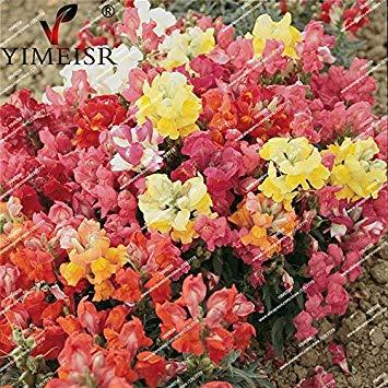 100pcs / sac nain Antirrhinum majus Color Mix Graines rares graines de fleurs vivaces plante balcon intérieur douches de bonbons snap