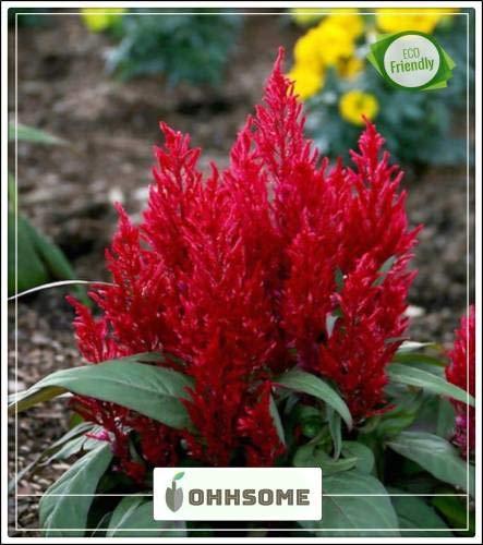 Pinkdose Herb Celosia Hahnenkamm Dwarf Mix Herb Herb für Sommer Samen Küche Garten Samen Packen Seed -