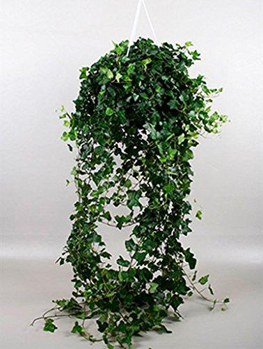 Efeu Wonder 70-90 cm im 24 cm Topf hängende Zimmerpflanze für Hell-Halbschatten Hedera helix 1 Pflanze (Hängende Zimmerpflanzen)