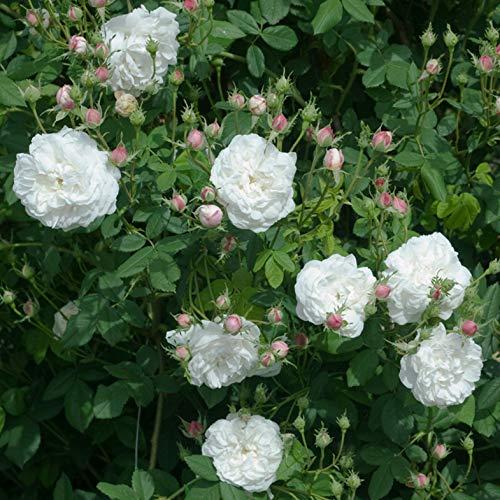M.me Plantier, rosa rampicante antica Rose Barni, pianta di rosa di gran pregio, vigorosa, unica fioritura massiva, fiori bianco rosato di intenso profumo. h. fino a 5 metri, resistente, cod. 14040
