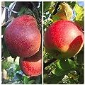 2er Set: Roter Boskoop + Jonagold zweijährig Apfelbaum Apfel Buschbaum Unterlage M7 + 1 x Dünger von Grüner Garten Shop - Du und dein Garten