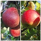 2er Set: Roter Boskoop + Jonagold zweijährig Apfelbaum Apfel Buschbaum Unterlage M7 + 1 x Dünger