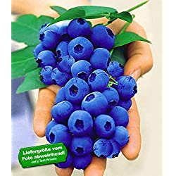 BALDUR-Garten Gartenheidelbeeren 'Nui' Blaubeeren Heidelbeeren Pflanze, 1 Pflanze Vaccinium corymbosum reichtragend