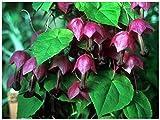 Lot 5 graines Rodhochiton atrosanguineus Purple Bells - RARE grimpante annuelle