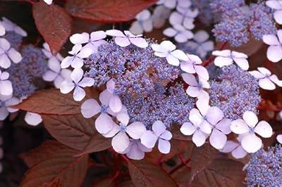 Hortensie Hydrangea Indian Summer®, 1 Pflanze von Amazon.de Pflanzenservice auf Du und dein Garten