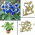 BigFamily Hot 2 Stücke Blau mit Weißen Seite Desert Rose Pflanzensamen Erstaunliche Farbe Hausgarten von BigFamily auf Du und dein Garten