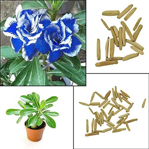 BigFamily Chaude 2 Pcs Bleu avec Blanc Côté Désert Rose Plante Graines Incroyable Couleur Maison Jardin