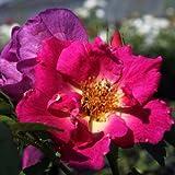 Weg der Sinne® ADR Rose Bodendeckerrose