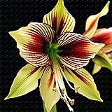 Big True Amaryllis Ampoules Intérieur et extérieur en Pot Plantes à Fleurs, bulbes de Fleurs de Survie Rate est Haute (Non Graines) -1Ampoules Show in Picture 22