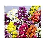 30x Strandnelke Pacific Mix - Limonium zeraphae Samen Garten Blume KS71