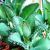 2016 nuova vendita 50pcs Kalanchoe bonsai semi di fiore e rari Home Giardino purificazione dell'aria indoor Pot Novel Succulente Piante nave libera